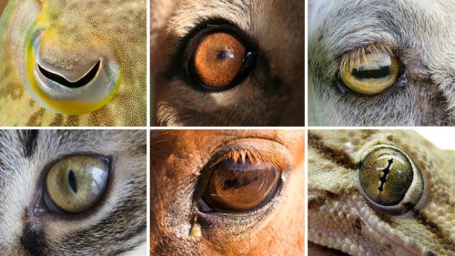 animal-eyes_wide-c0e3de69f408d53b9ee8234c6ce62a781084cb55-s800-c85